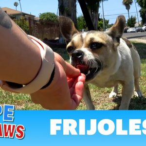 Abandoned Chihuahua doesn't trust anyone who doesn't give her cheese!