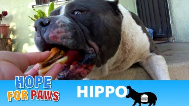 Hippo didn't worry about his own bleeding - he just wanted the cheeseburger! 🍔