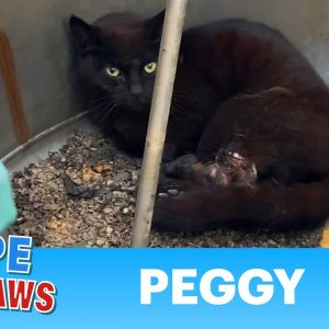 Cat accepted she was going to die as maggots ate her rotting flesh. WARNING - not easy to watch.