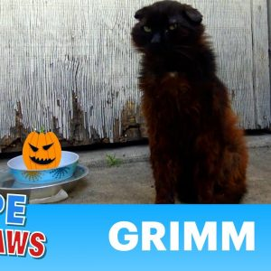 Grimm just waited for someone to call Hope For Paws already 🎃😼👻